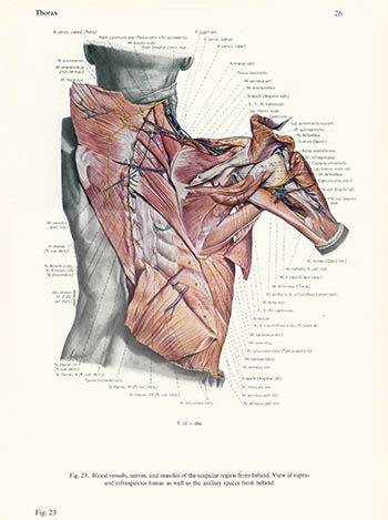 Scapular region from behind, Erich Lepier, click for larger image