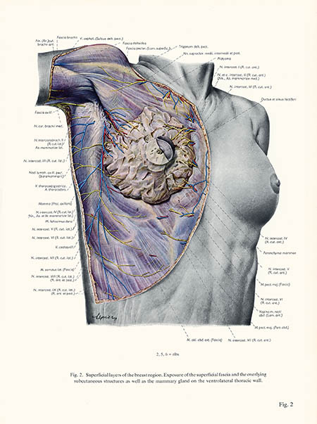 Superficial layers of the breast region, Erich Lepier, click for larger image
