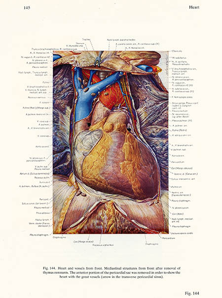 Heart and vessels from front, Ludwig Schrott, click for larger image