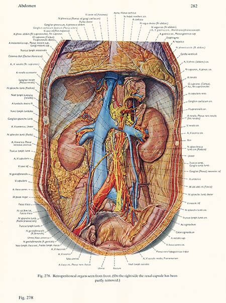 Retroperitoneal organs, click for larger image