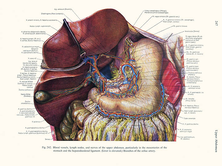 Blood vessels, lymph nodes and nerves of the upper abdomen, Karl Endtresser, click for larger image